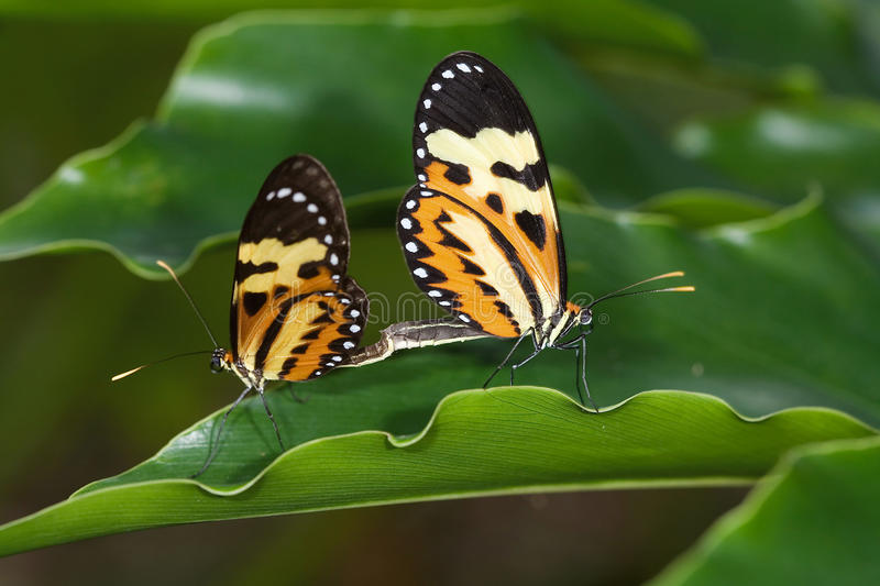 Butterfly couple on leaf. Butterfly couple on green leaves royalty free stock photo