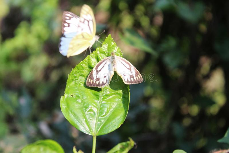 Butterfly couple mating in nature.beautiful stripped Pioneer White or Indian Caper White butterflies intercourse pairing in nature stock photography