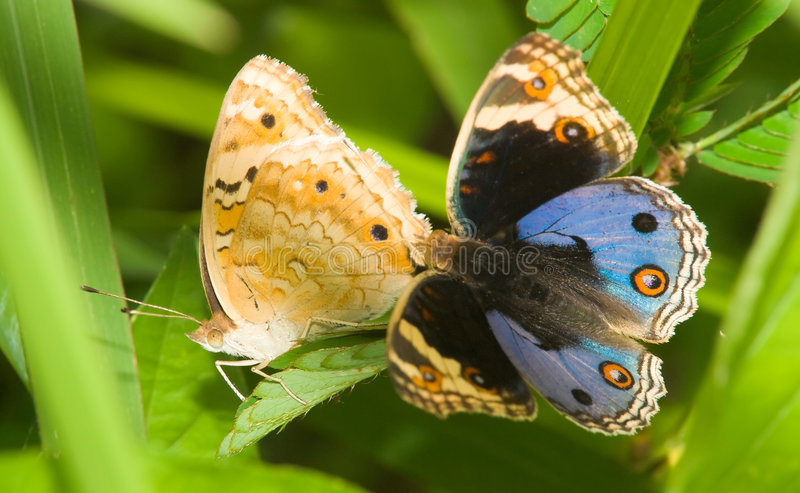 Butterfly Courtship stock photos