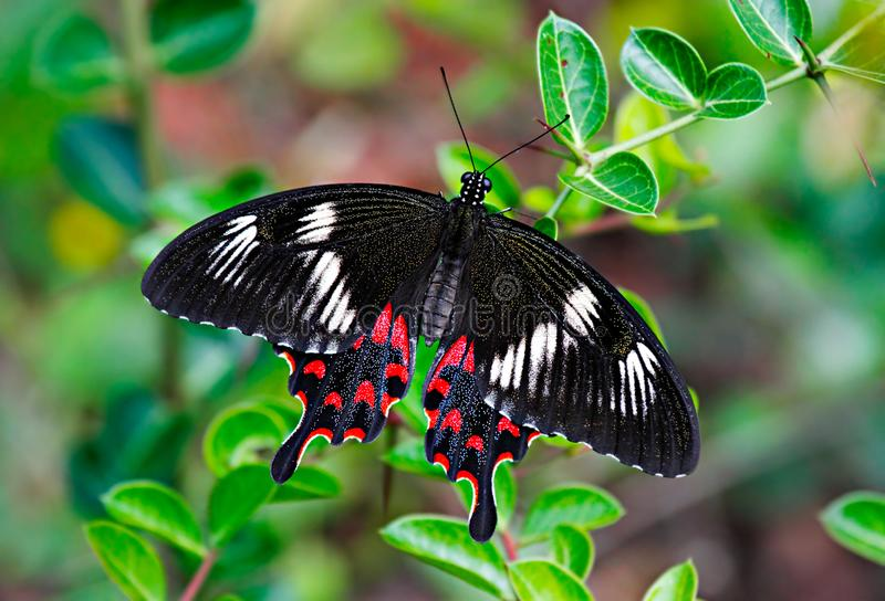 Butterfly Crimson Rose or Pachliopta hector on green leaves royalty free stock photos