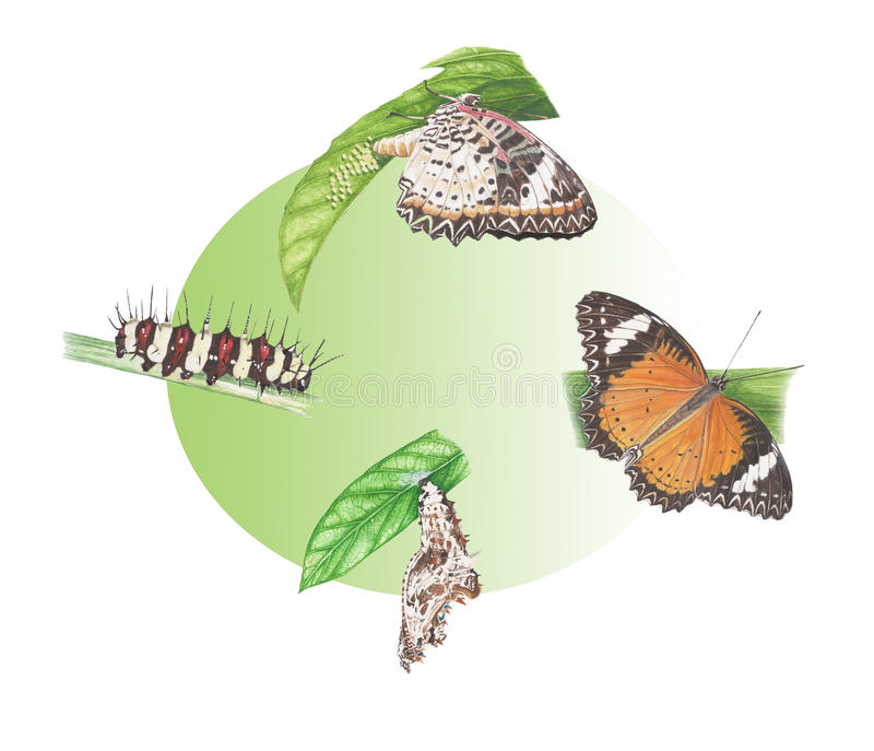 Butterfly cycle stock images