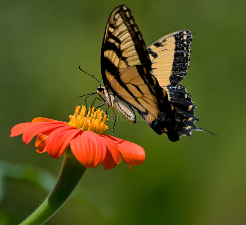 Download Butterfly On Daisy Stock Photography - Image: 7974012