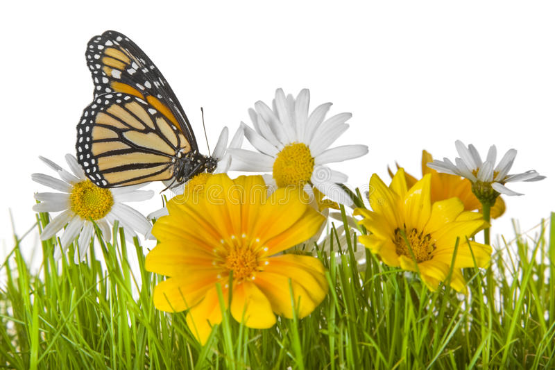 Download Butterfly On Daisy Flower Royalty Free Stock Image - Image: 12129556
