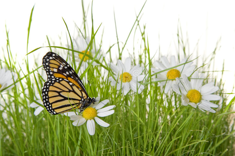 Download Butterfly on Daisy flower stock photo. Image of small - 12201740