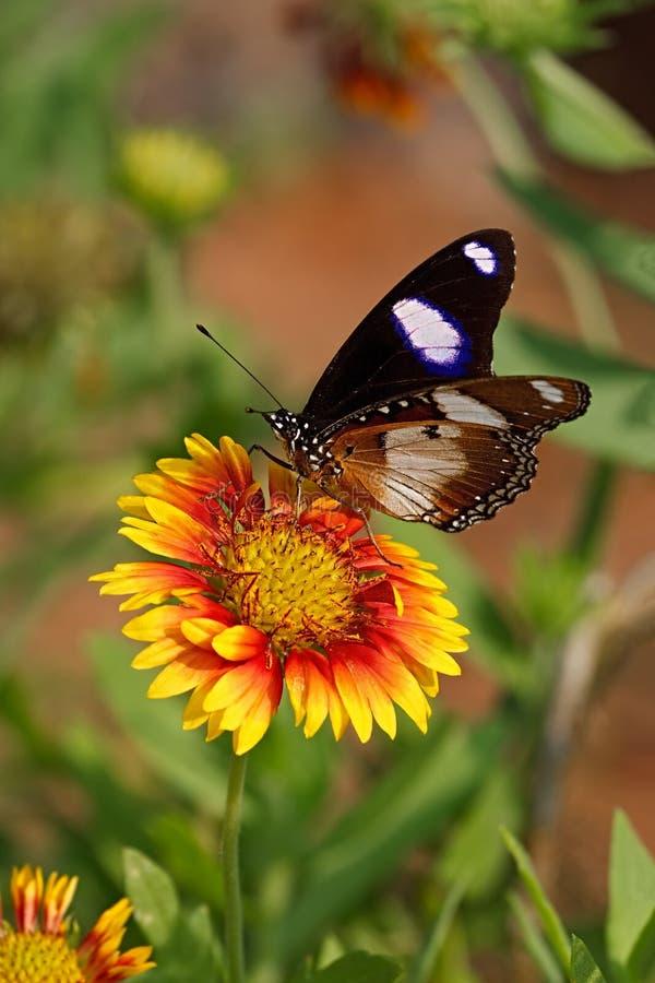 Butterfly Danaid Eggfly on a Firewheel flower with bokeh background. Butterfly Danaid Eggfly or Mimic or Diadem butterfly or or Moon butterfly or Hypolimnas royalty free stock photos