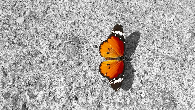 A butterfly Danaus Chrysippus, Plain Tiger, resting on a concrete wall: its beauty and elegance in contrast to the roughness of stock image