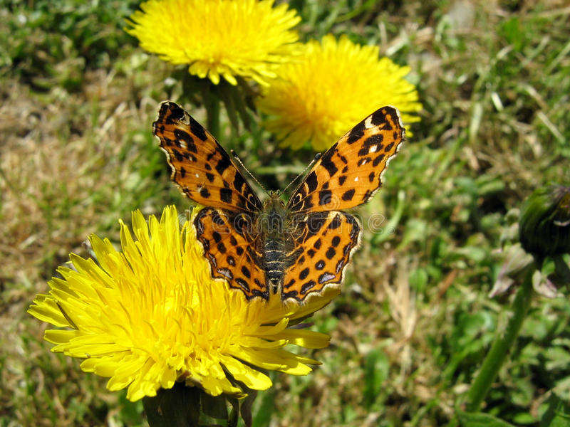 Butterfly on a Dandelion royalty free stock photography