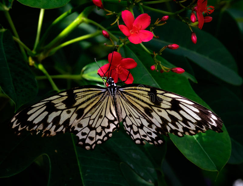 Butterfly on dark red flowers stock photography