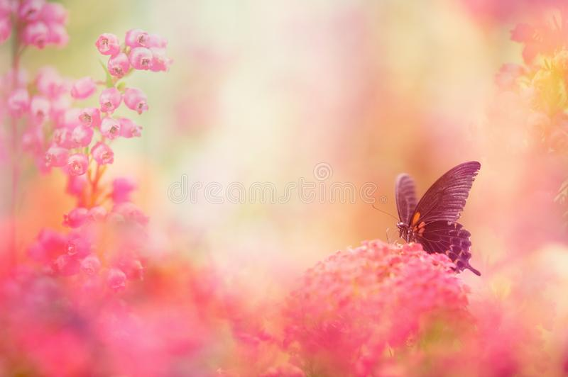 Swallowtail butterfly feeding on flower. Selective focus and shallow depth of field royalty free stock photos