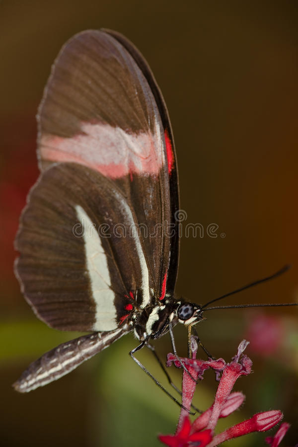 Free Butterfly Drinking Nectar Royalty Free Stock Photos - 13054908