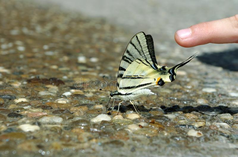 Butterfly drinking water. beautiful butterfly sitting on the wet asphalt royalty free stock photo