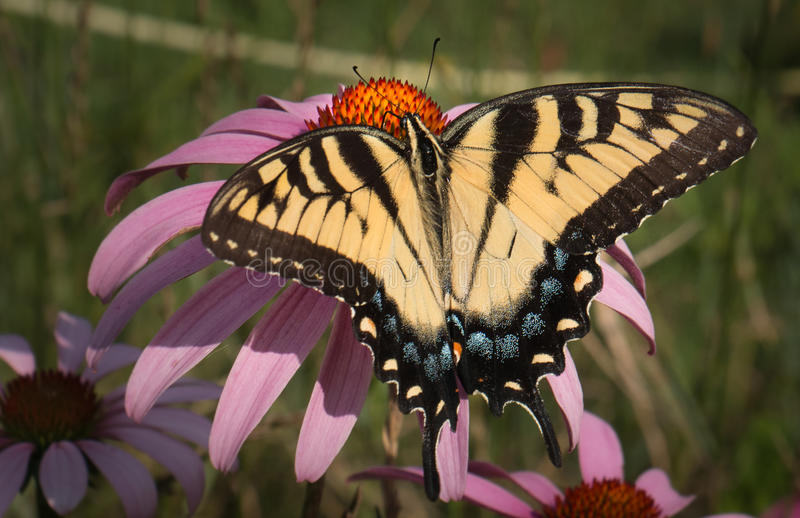 Butterfly on echinacea flower stock photo