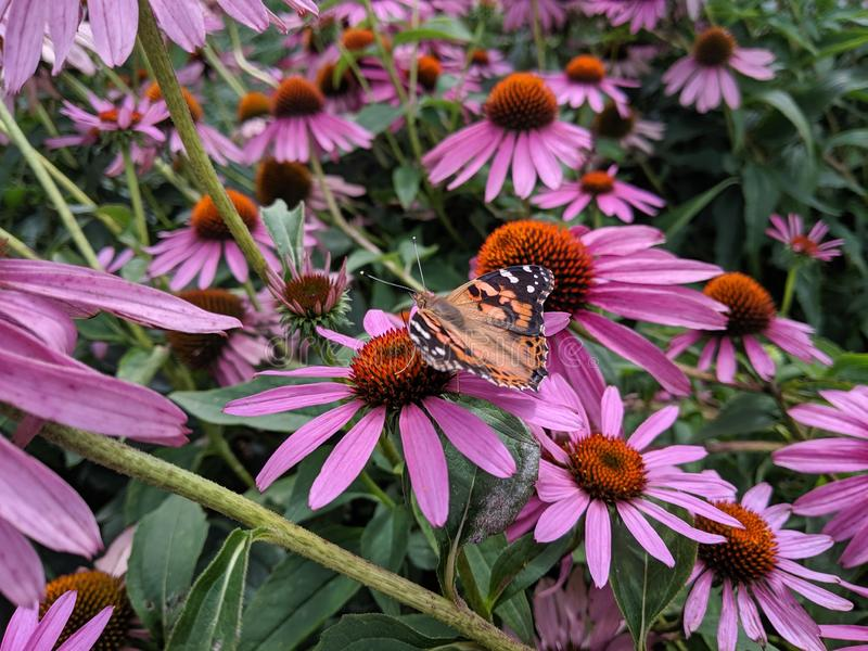 Butterfly on echinacea flower royalty free stock image