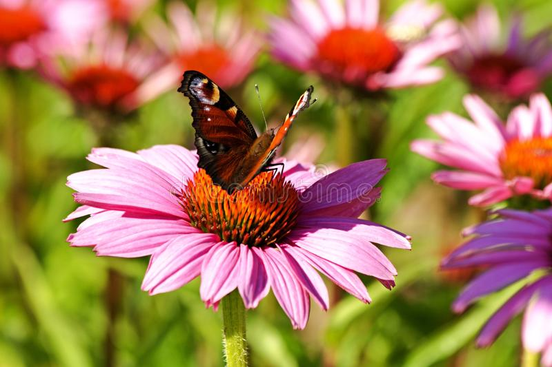 Butterfly on echinacea royalty free stock image