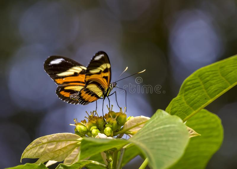 Butterfly Eueides isabella dianasa specimen on flower royalty free stock images