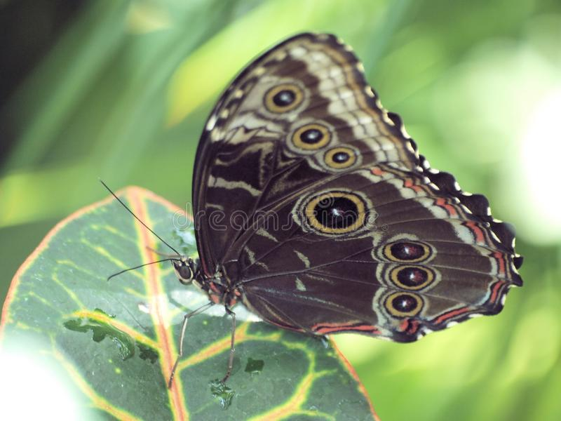 Butterfly with Eyes on Wings stock images