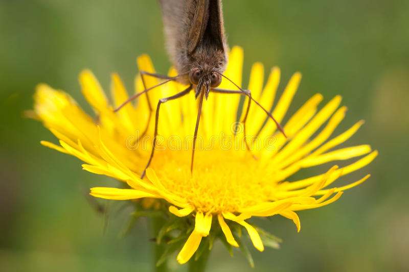 Butterfly face macro view. Brown-winged insect on yellow petal flower background, macro view shallow depth of field. Photo stock photo