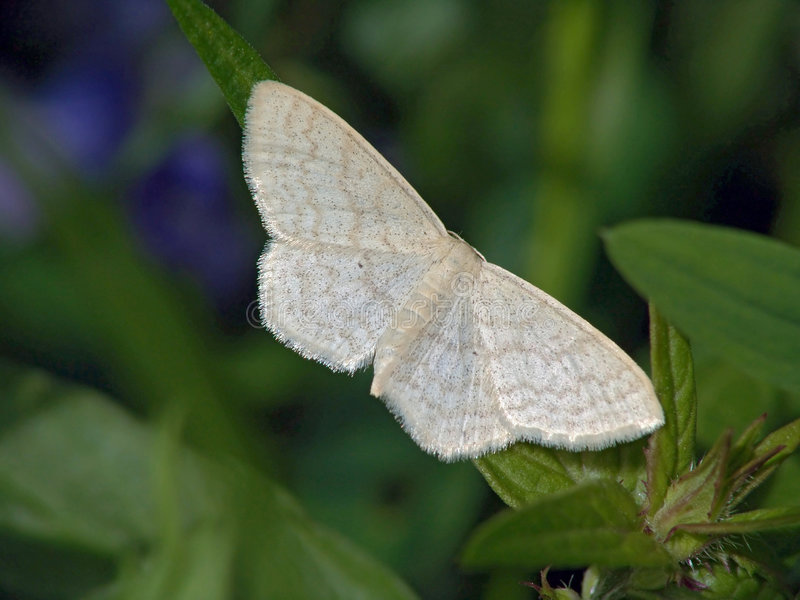 Download The Butterfly Of Family Geometridae. Royalty Free Stock Image - Image: 504796