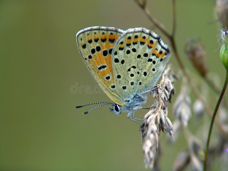 The butterfly of family Lycaenidae. royalty free stock images