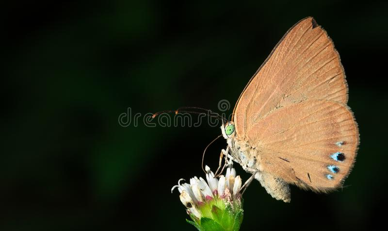 Brown butterfly on a white flower in Costa Rica. Butterfly feeding from a flower in Cahuita National Park, Costa Rica royalty free stock photo