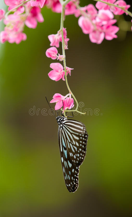 Free Butterfly Feeding On Pink Flowers Stock Image - 9440561