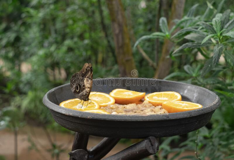 Butterfly feeding, sitting in a fruit trough.  royalty free stock image