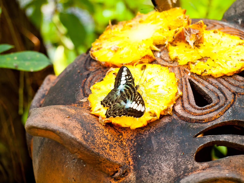 Butterfly feeding a sweet nectar of pineapple. Thailand royalty free stock photos