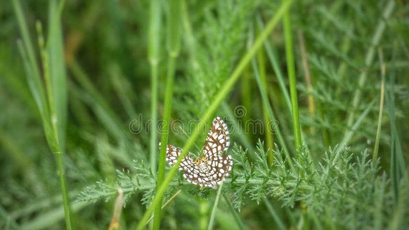 Butterfly In finnish nature royalty free stock image