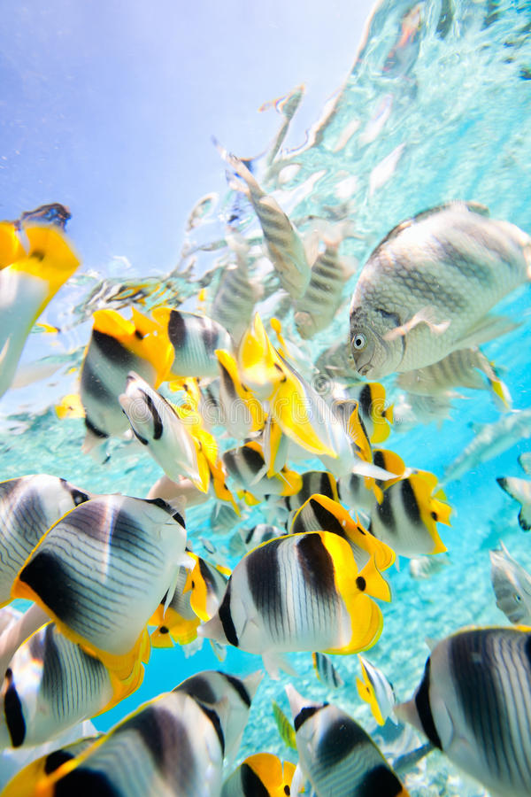 Download Butterfly fish stock image. Image of group, deep, lagoon - 27375153