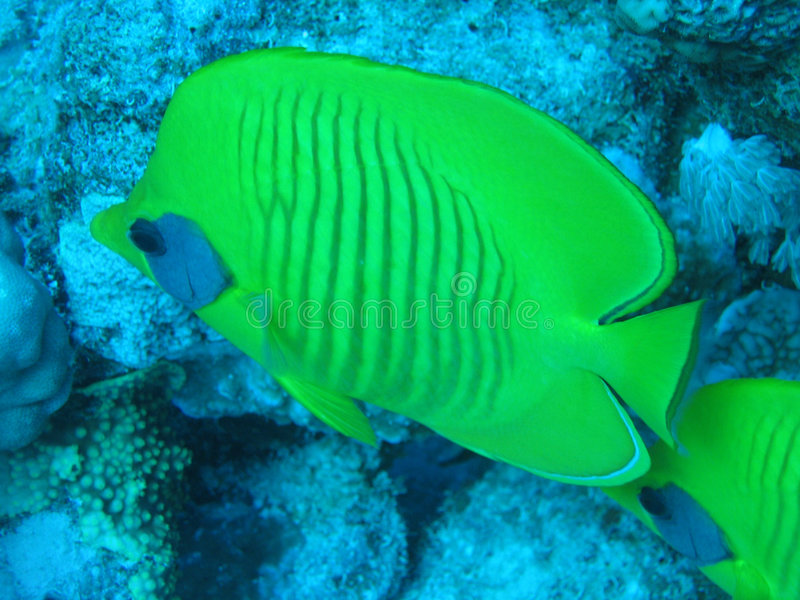 Download Butterfly fish stock image. Image of adventure, animal - 468319