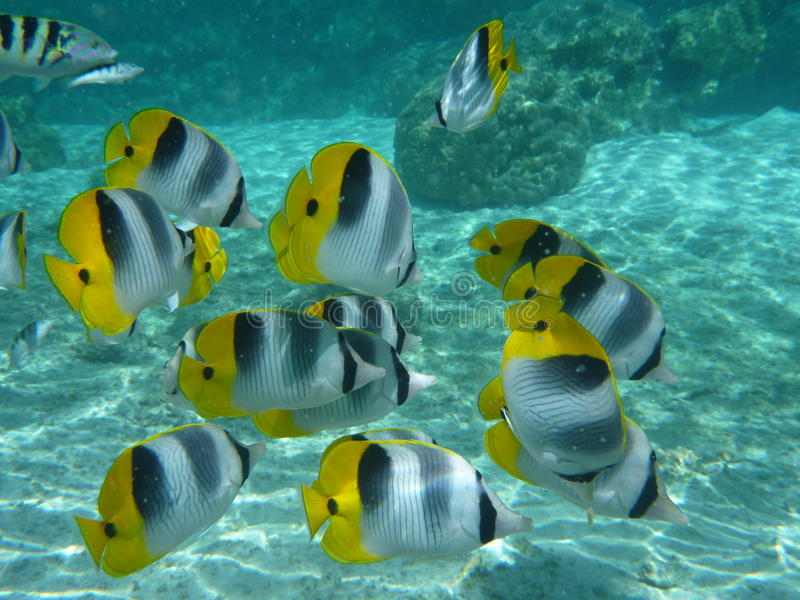 Butterfly fishes royalty free stock photography