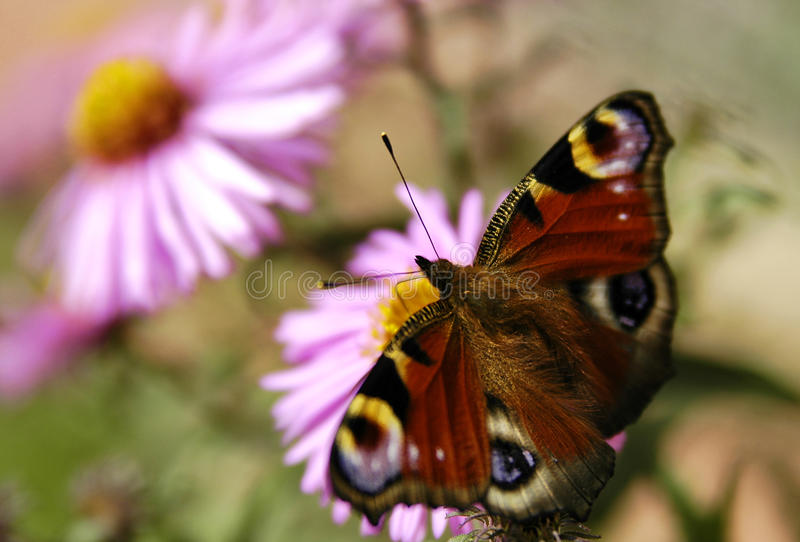 Butterfly on the flower. Colorful butterfly sitting on the garden's flower. A butterfly is an insect of the order Lepidoptera. Like all Lepidoptera, butterflies stock image