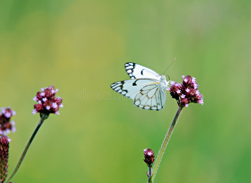 Butterfly on a flower. Image of a small butterfly landing on the stem of a flower stock photography