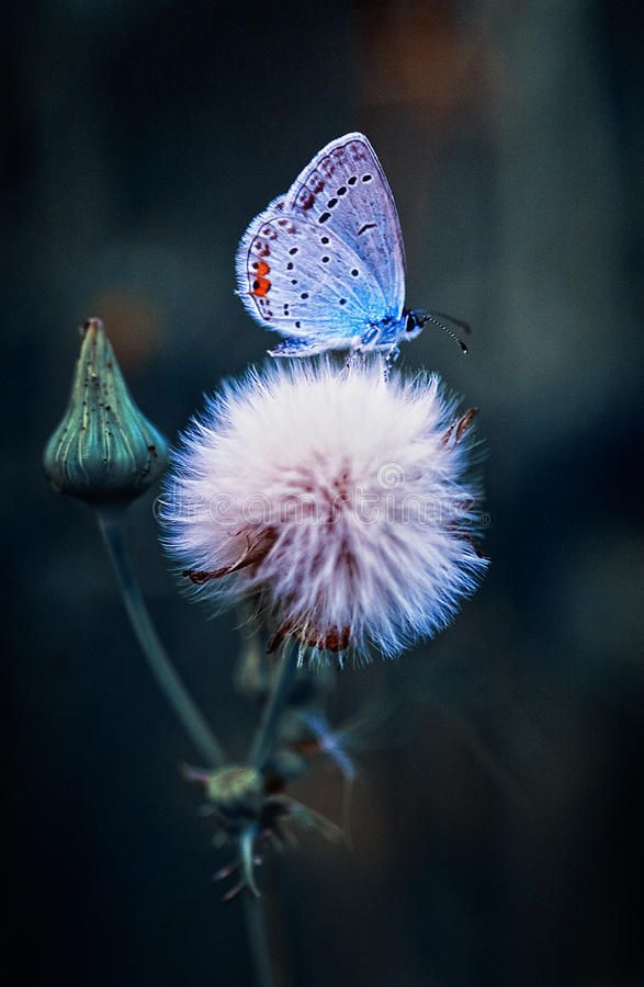 Butterfly on Flower. Blue Butterfly is sittinf on a Flower, small Butterfly, Natural spirit, small Insect, Nature Area, blue Insect, little Butterfly royalty free stock photo