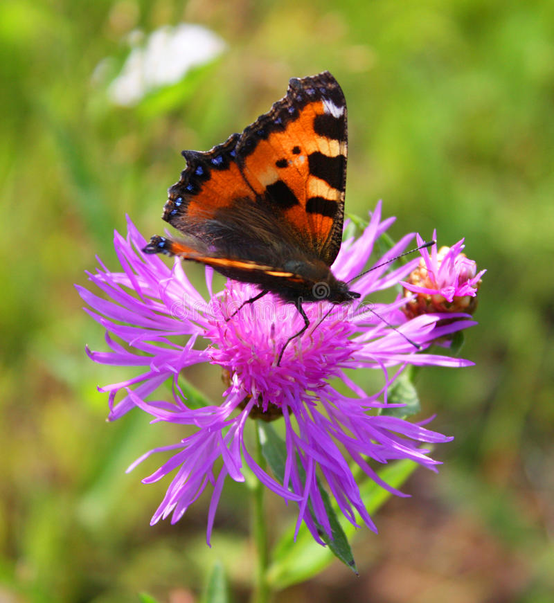 Download Butterfly & flower stock photo. Image of green, asteraceae - 12128134