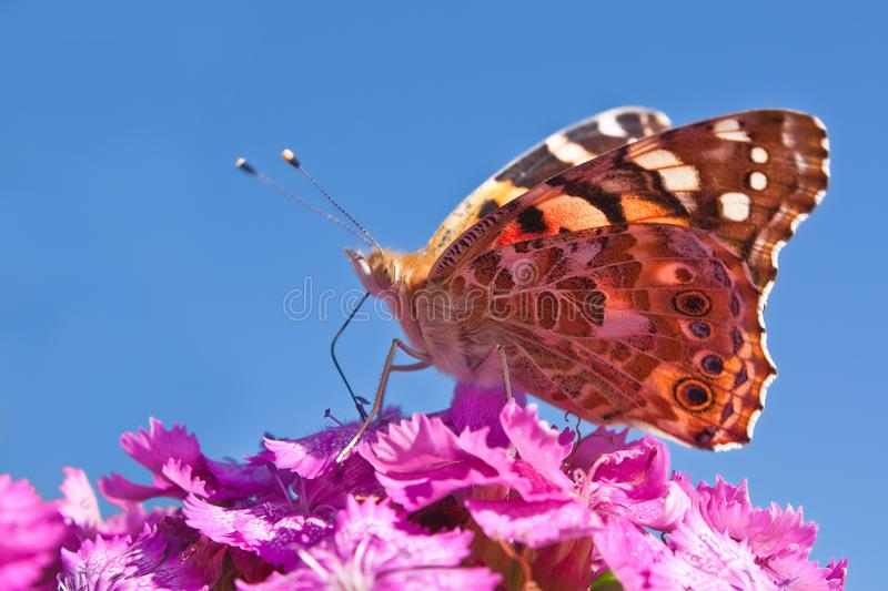 Download Butterfly on flower stock image. Image of nectar, fragile - 14077733