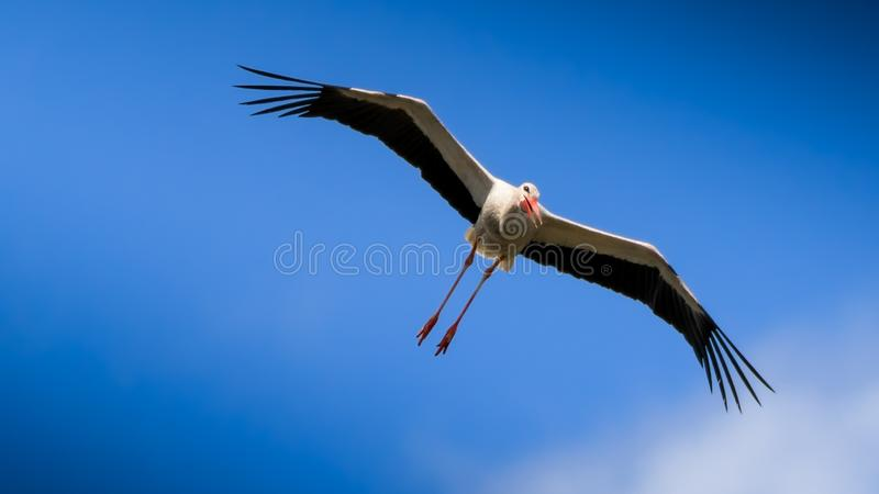 White stork flying on blue sky. White stork gliding on clear blue sky with open wings in National Park stock images