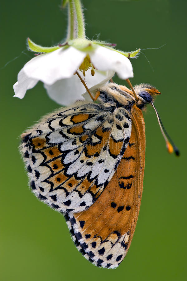 A butterfly in a flower. A brown butterfly in a white flower up down royalty free stock photo