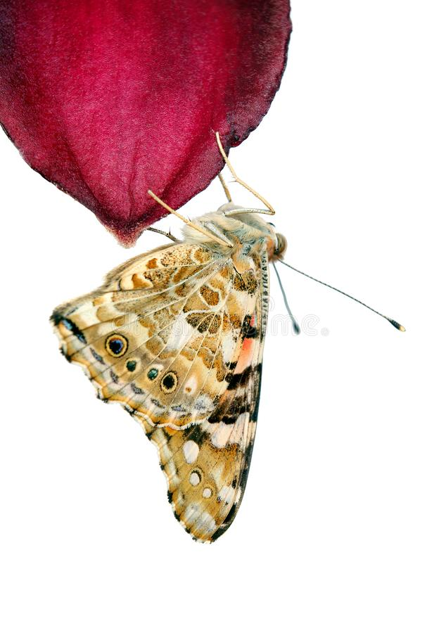 Butterfly on a flower. beautiful butterfly painted lady on flower isolated on a white.  butterfly and lily stock photos