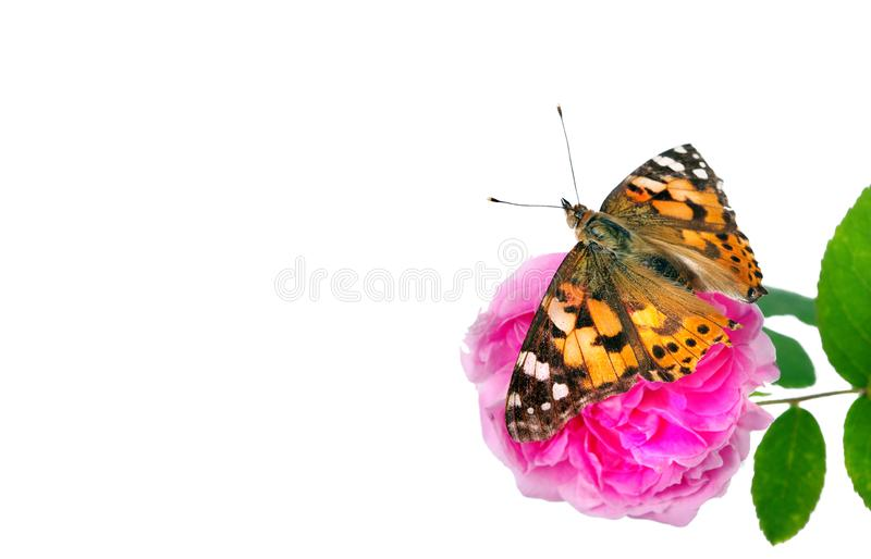 Butterfly on a flower. beautiful butterfly painted lady on flower isolated on a white. copy spaces. rose and butterfly royalty free stock photos