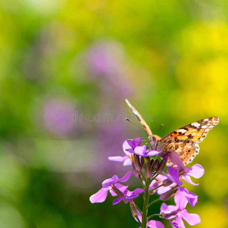 Butterfly on flower. Beautiful insect butterfly on a flower on a colored background macro stock photos