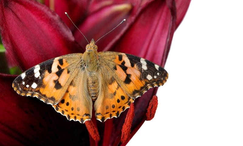Butterfly on a flower. beautiful butterfly painted lady on flower isolated on a white. copy spaces. butterfly and lily stock image