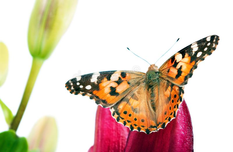 Butterfly on a flower. beautiful butterfly painted lady on flower isolated on a white.  butterfly and lily stock photo