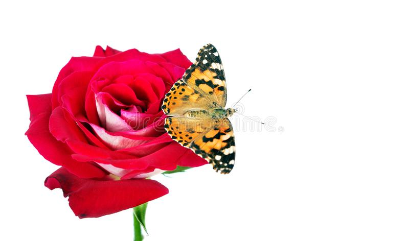 Butterfly on a flower. beautiful butterfly painted lady on flower isolated on a white. copy spaces. rose and butterfly stock photos