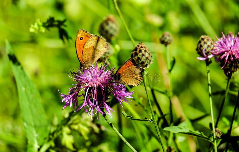 Butterfly, Flower, Brush Footed Butterfly, Insect royalty free stock image