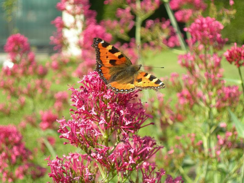 Butterfly, Flower, Brush Footed Butterfly, Moths And Butterflies royalty free stock photo