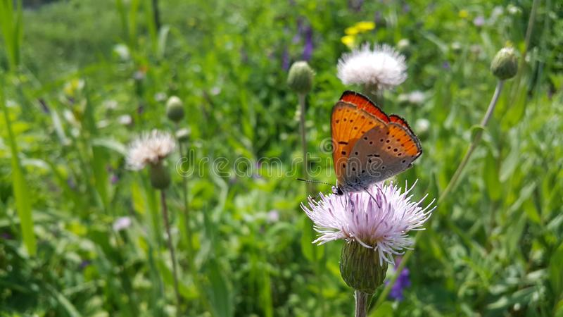 Butterfly, Flower, Brush Footed Butterfly, Moths And Butterflies royalty free stock photos
