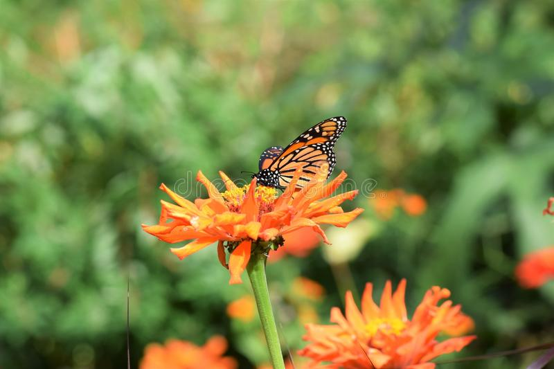 Butterfly, Flower, Brush Footed Butterfly, Nectar stock photography