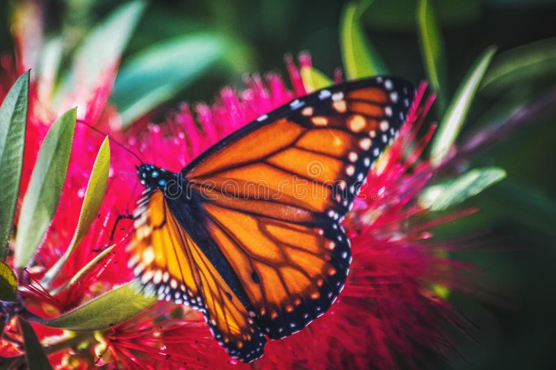 Butterfly on a flower. Buenos Aires. Taken in Mataderos, Buenos Aires royalty free stock photo