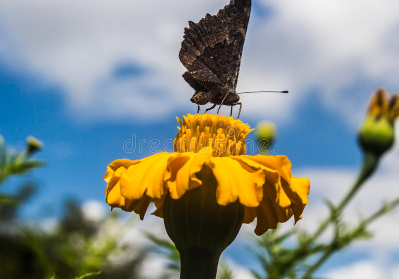 Butterfly on flower. Butterly on flower drinking nector stock photos